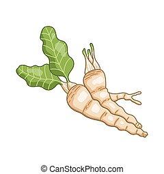 mierikswortel, vector, flora, gekleurde, illustratie