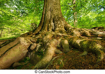 Mighty roots of a majestic beech tree - Mighty roots of a...