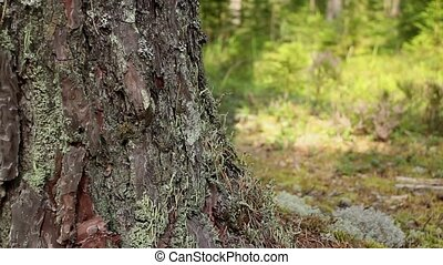 mighty tree huge pine tree, bark is covered with moss, dolly...