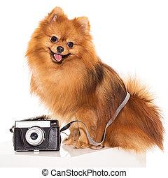 mignon, appareil photo, spitz