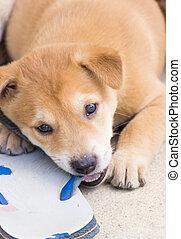 mignon, attrapé, chien, quoique, mastication, chaussure, 6, semaines, chiot, thaï