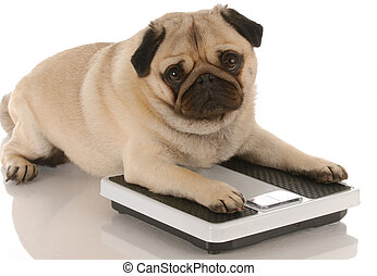 mignon, balances, pose, carlin, -, chien, santé, animal, ...