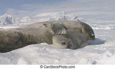 mignon, cachet, mère, antarctique, chiot, weddell, soin
