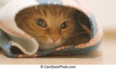 mignon, carpet., séance, roulé, intérieur, haut, chat gingembre, chouchou, regarde, curiosity., pelucheux