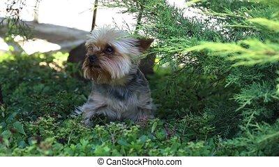 mignon, chien, à poil, peu, chien, herbe, jouer