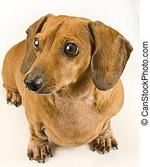 mignon, chien, dévisager, wiener, chiot, gauche