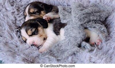 mignon, deux, dormir, chiots