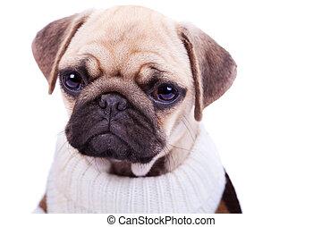 mignon, et, triste, triste, carlin, chiot, chien, isolé, blanc