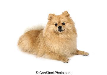 mignon, fond blanc, chien, pomeranian