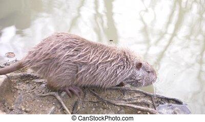 mignon, gros plan, rivière, coypus, pelucheux, motion., nutria, lent, water., sauvage, rat, 4k, flotte