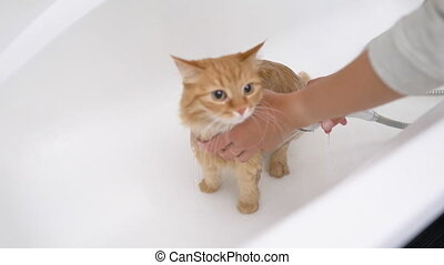 mignon, lave, bathtub., évasion, cat., meows, pelucheux, ...