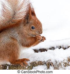 mignon, manger, écureuil, pelucheux, fou, neige, forest., blanc, hiver