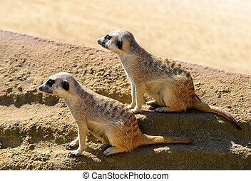 mignon, meerkat, (, suricatta suricata, ), dans, les, sand.