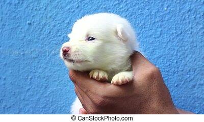 mignon, nouveau né, blanc, chiot, yawning., avoir, main., ...