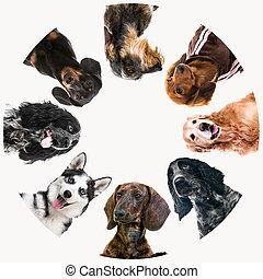 mignon, pelucheux, groupe, chiens