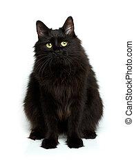mignon, pelucheux, isolé, chat, noir, blanc