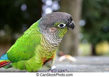 mignon, peu, perroquet