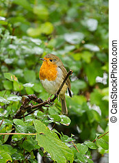 mignon, peu, rouge-gorge, redbreast