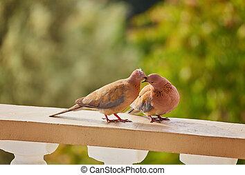 mignon, pigeons, deux, becs, leur, baisers