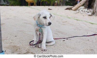 mignon, plage, blanc, chiot