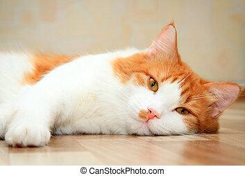 mignon, plancher, chat, blanc rouge, mensonge