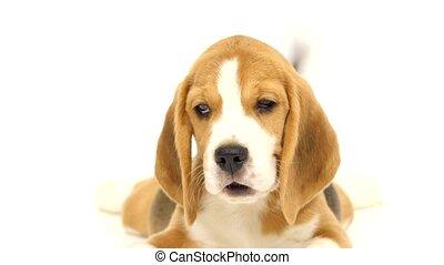 mignon, plancher, il, beagle, mensonges, studio, chiot