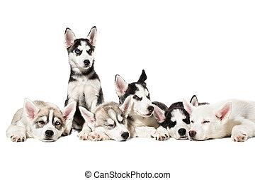 mignon, sibérien, arrière-plan., chiots, husky, blanc