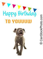 mignon, terrier, gris, chien, stafford, anniversaire, fond, vous, chiot, chant, blanc, carte, heureux