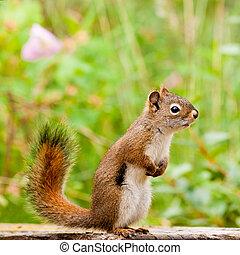 mignon, vigilant, écureuil, américain, poser, curieux, rouges