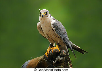 Migrant falcon sitting on falconic gloves