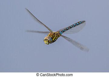 Migrant hawker on blue - Flying migrant hawker (Aeshna mixta...