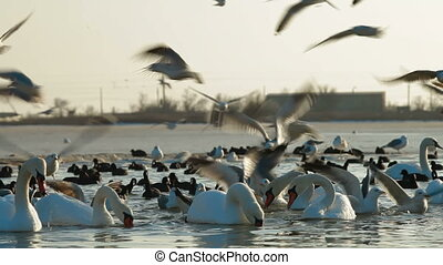 Migrar, cisnes, mudo