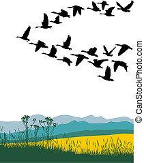 migrar, gansos, em, a, primavera