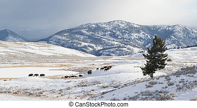 migrate, bisonte, inverno, rebanho