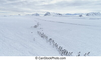 migratie, van, pinquins, colony., antarctica, flight.