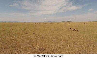 migratie, van, wildebeest., aerial.