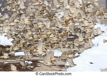 migrating flock of sparrows in flight