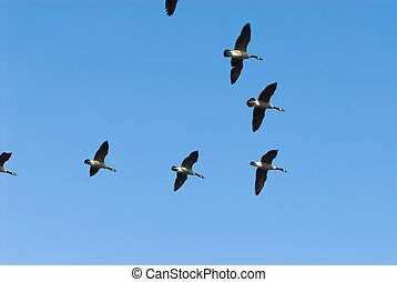 Migrating geese - Flock of geese migrating against clear...
