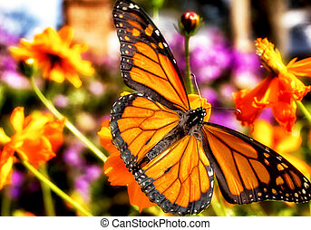 Migrating Monarch Butterlies in Autumn - Migrating Monarch...