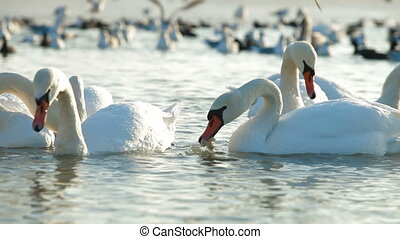 Migrating Mute Swans - Flock of Migrating Mute Swans at...