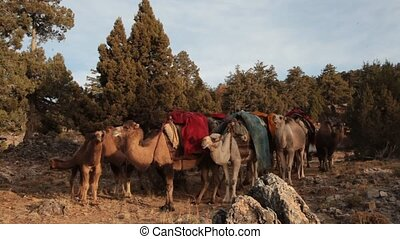 migrating to hot plateaus with camels