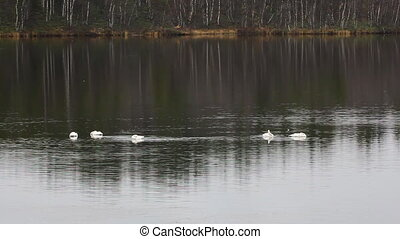 Migrating Whooper Swans resting on taiga river - Migrating...
