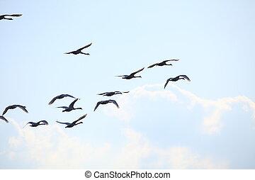 Migration birds swan on blue sky in Flight