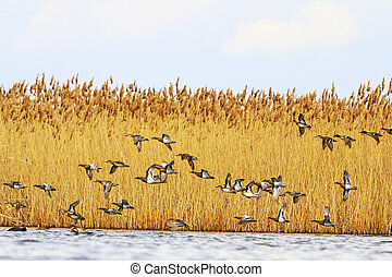 migration of ducks in the spring, birds fly over water