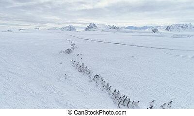 Migration of penguins colony. Antarctica flight. - Migration...