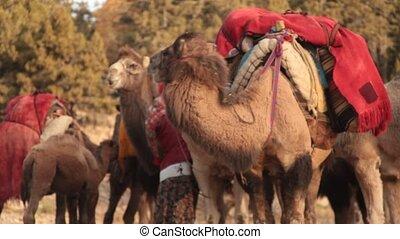 migration., préparé, chameaux, plateaus., femmes, chaud,...