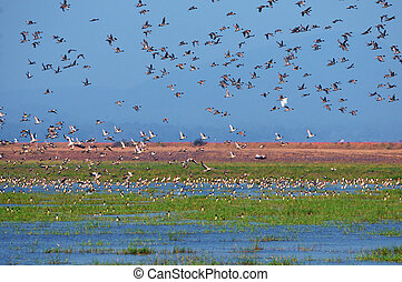 Migratory birds - Flocks of various migratory birds ...