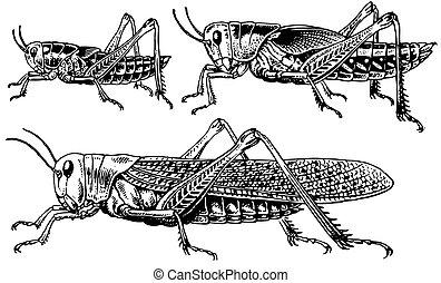 Migratory locusts