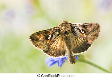 Migratory moth Silver Y or Autographa gamma butterfly...