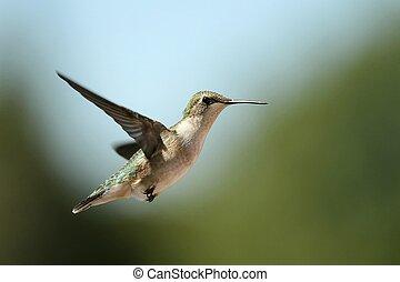 migrer, colibri